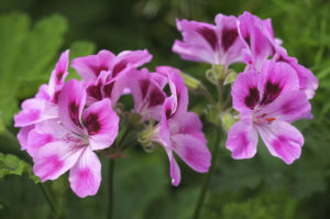 A close uo of a Pelargonium plant