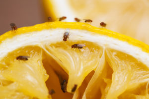 fruit flies